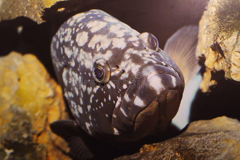 Close up manchado preto dos peixes fotos de stock royalty free