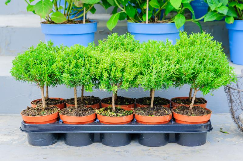 Close up of many small tree seedlings growing in plastic transporting pots in Garden plants shop.  royalty free stock images