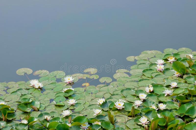 Water lilies. The close-up of many white water lilies in pond royalty free stock photography
