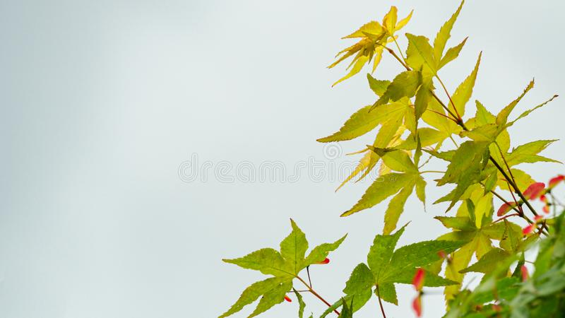 Close-up of maple Acer Palmatum with bright green leaves against white background. Spring landscape, fresh wallpaper, nature background concept stock photos