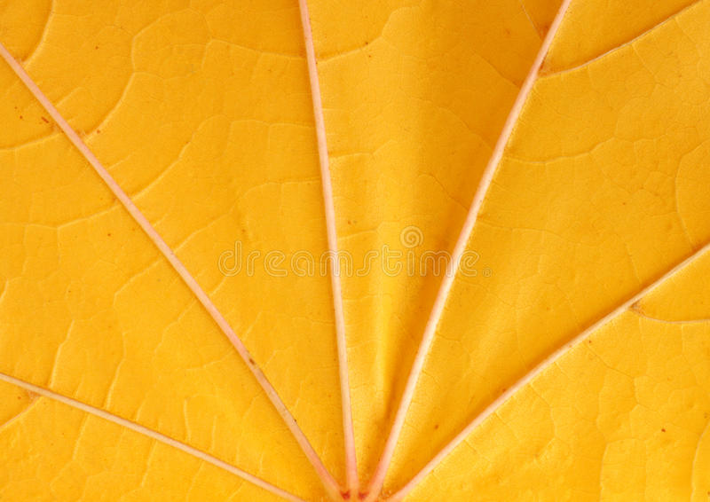Download Close up of maple leaf stock image. Image of close, nature - 34468163