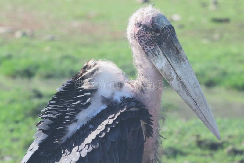 Close up maraboustork in open safari royalty free stock images