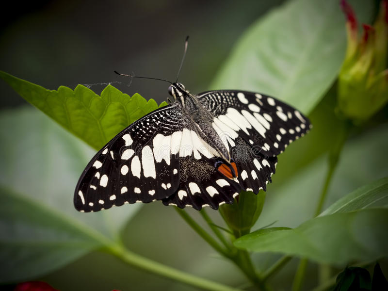 Close up of a marbled white butterfly. Melanargia galathea stock photography