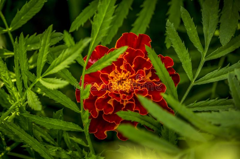 Close up of Marigold flower and leaf in garden. Tagetes background, wedding card stock images