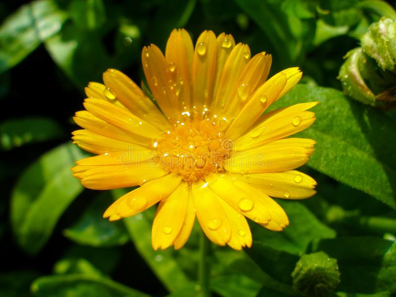 Close-up on Marigold flower shortly after summer rain. Calendula officinalis shortly after rain during sunny day. Droplets on petals. Photo taken in garden in stock photos