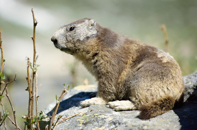 Close up of a marmot on rock