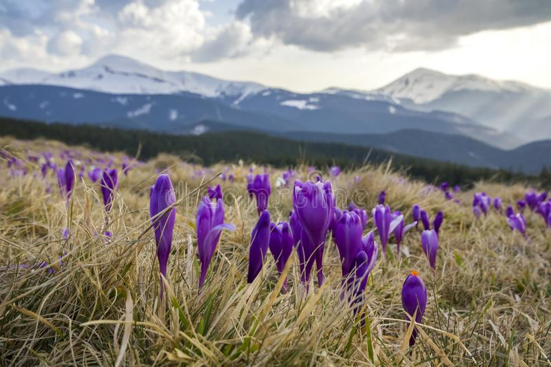 Close-up of marvelous blooming crocuses flowers in the Carpathian mountains valley. Blurred image of mighty mountains covered wit stock photos
