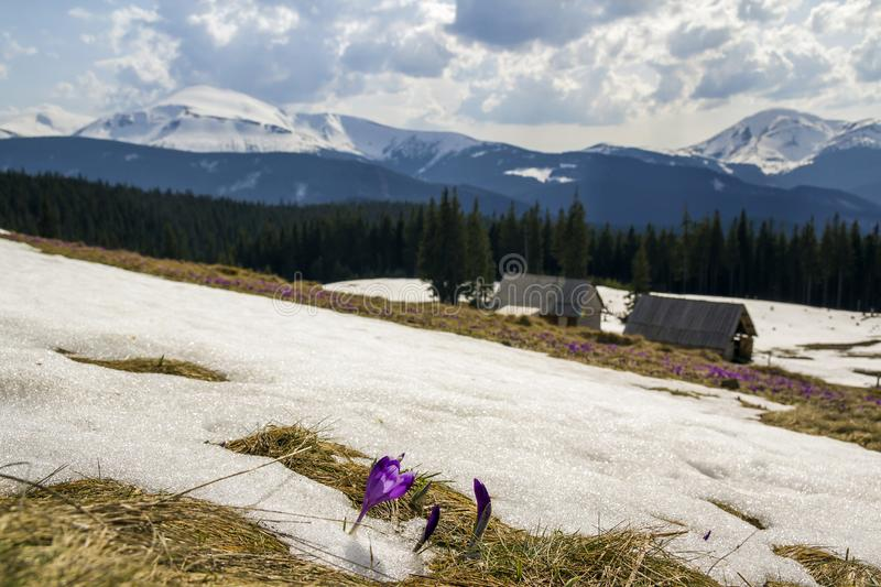 Close-up of marvelous blooming first crocuses breaking through snow. Blurred image of shepherds huts and mighty mountains covered. With forest in distance royalty free stock image