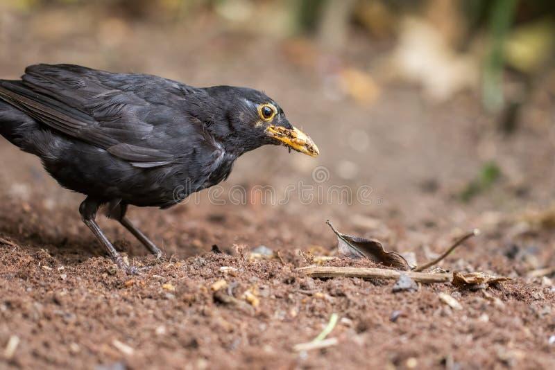 Close-up masculino com fome do melro Pássaro do jardim que forrageia para o alimento do sem-fim imagens de stock royalty free