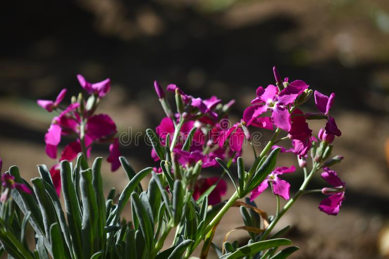 Close-up of Matthiola Incana Flowers. Purple Hoary Stock, Tenweeks Stock, Violaciocca royalty free stock photos
