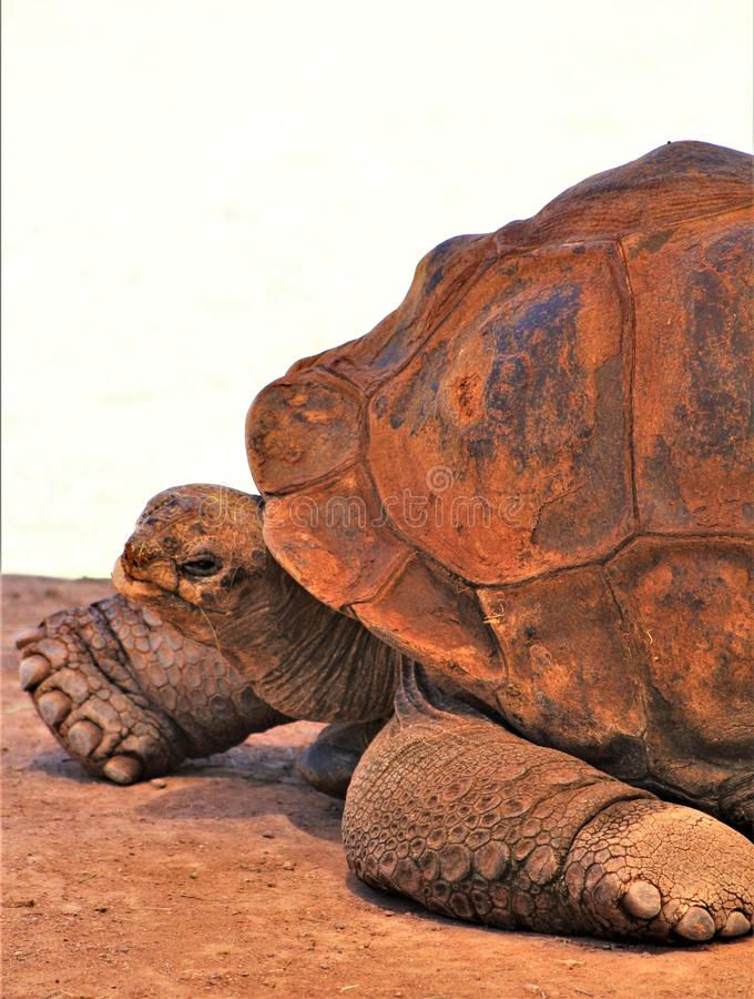 Aldabra Giant Tortoise, Phoenix Zoo, Arizona Center for Nature Conservation, Phoenix, Arizona, United States. Close up of a mature Aldabra Giant Tortoise stock images