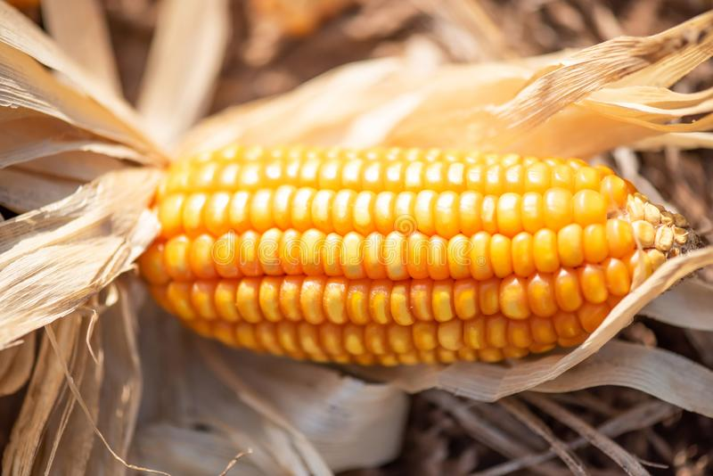 Close-up, mature orange corn on cob on a ground after harvesting, soft sunset shines on a corn on cob. Selective focus. Organic royalty free stock image
