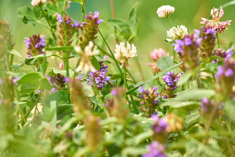 Close up of meadow flowers. Blooming whiye and purple wild clover stock photography