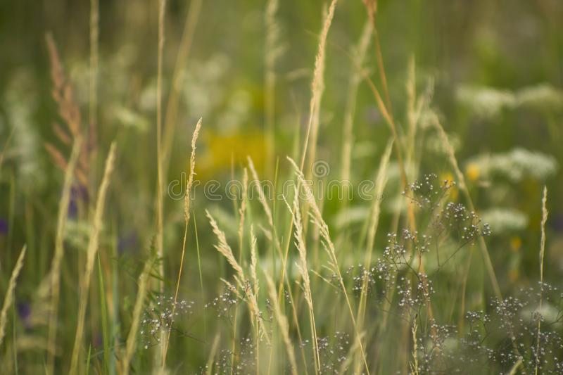 Close Up Meadow Grass In Yellow Sunlight And bokeh, Abstract plant summer background stock photography