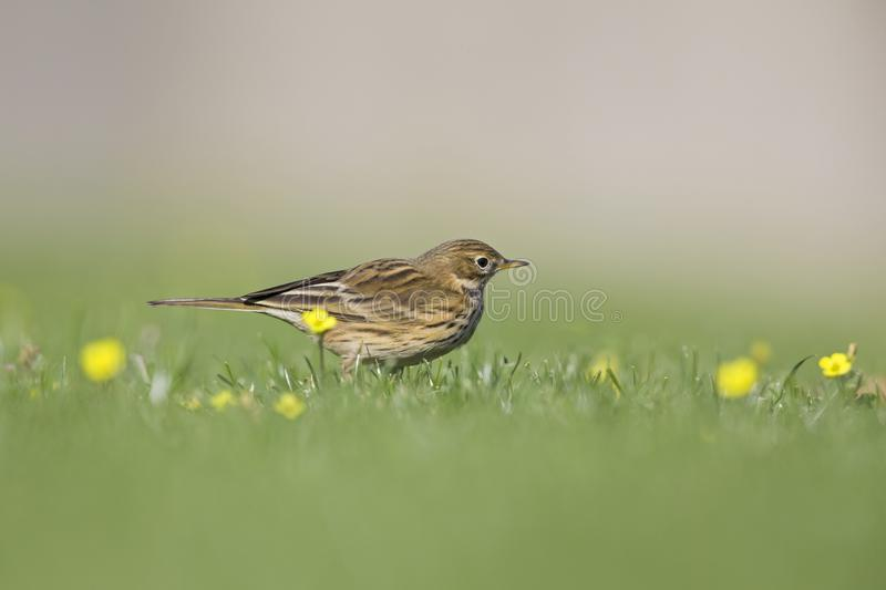 A close-up of a meadow pipit Anthus pratensis foraging in a grass field with flowers on the island Heligoland. A close-up of a meadow pipit foraging in a grass stock image