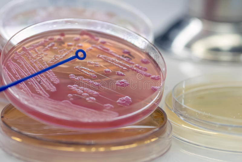 Close up the media plate on hand medical technicians working on. Bacterial culture and drug resistance of pathogens in laboratory royalty free stock images