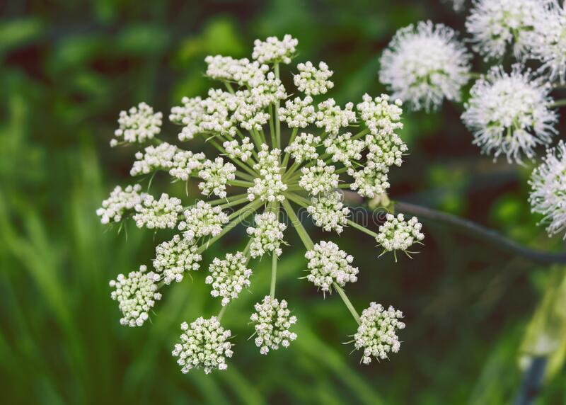Close-up of medicinal and aromatic plant Angelica flower. royalty free stock photography