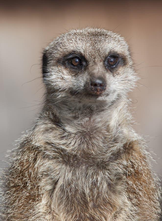 Close up of a Meekat