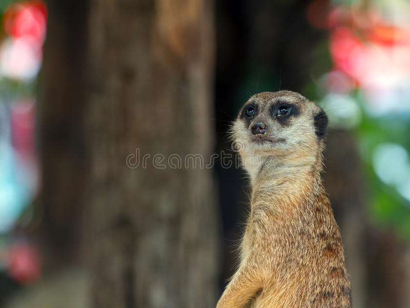 Close up of Meerkat staning on guard duty; Suricata suricatta is a small carnivoran. Close up of Meerkat staning on guard duty; Suricata suricatta or suricate is royalty free stock photography
