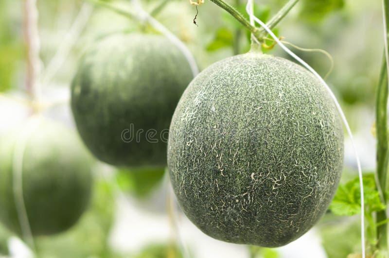 Close up mellon fresco no ramo de ?rvore na explora??o agr?cola, foco seletivo foto de stock royalty free