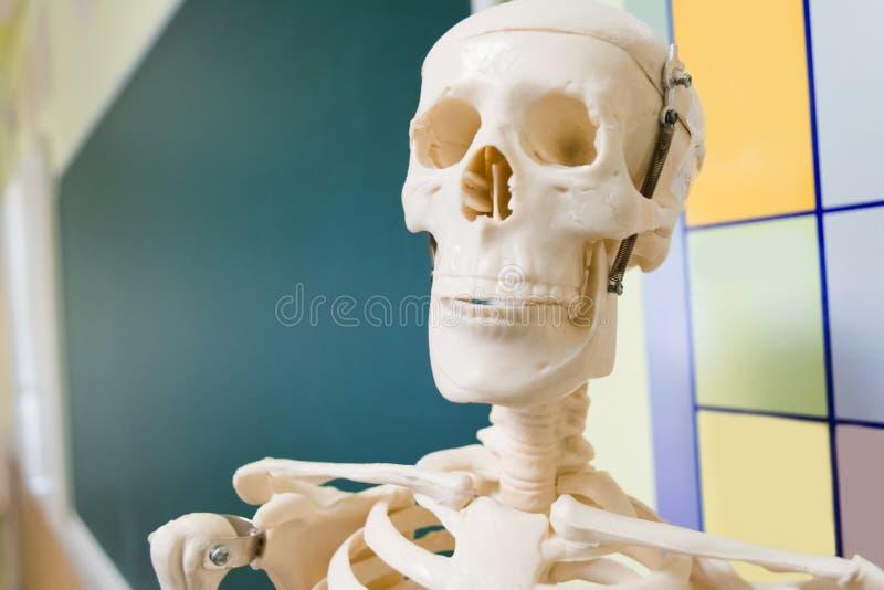 Close-up menselijk skelet op achtergrond van school groene raad in klaslokaal De ruimte van het exemplaar stock foto