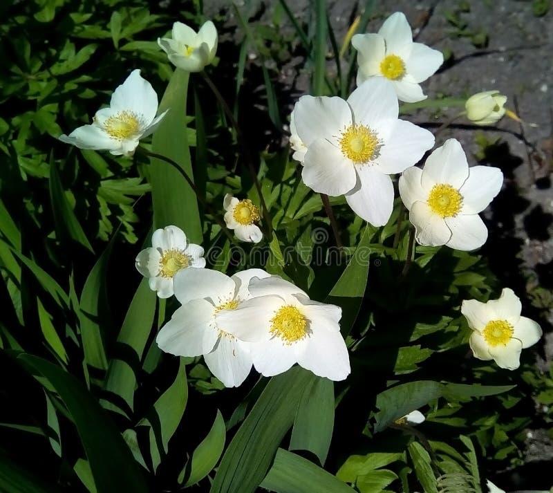 Close-up met witte bloemen op een achtergrond van groene bladeren royalty-vrije stock fotografie