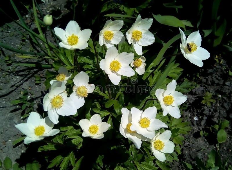 Close-up met witte bloemen op een achtergrond van groene bladeren stock foto