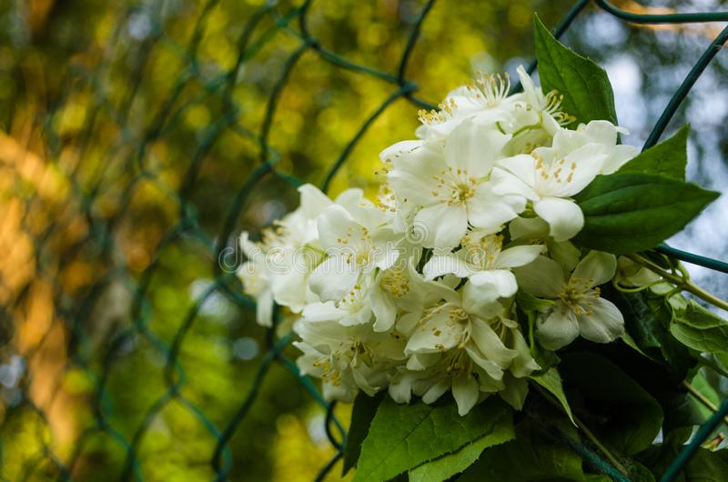 Close up of metal chain-link in the garden. White Jasmine flowers with green leaves in diamond mesh wire fence on blurred green royalty free stock photo