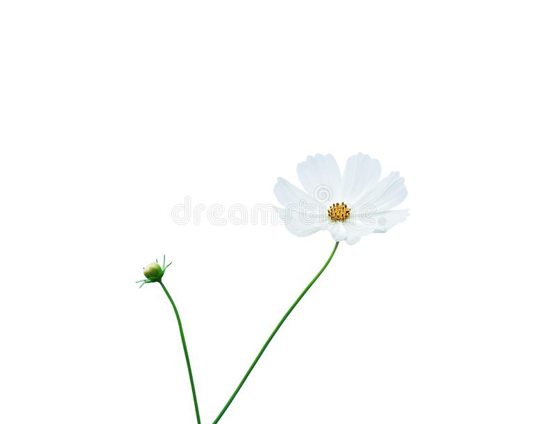 Mexican aster flowers or white cosmos petal with yellow pollen pattern and green stem isolated on background with clipping path , royalty free stock photos
