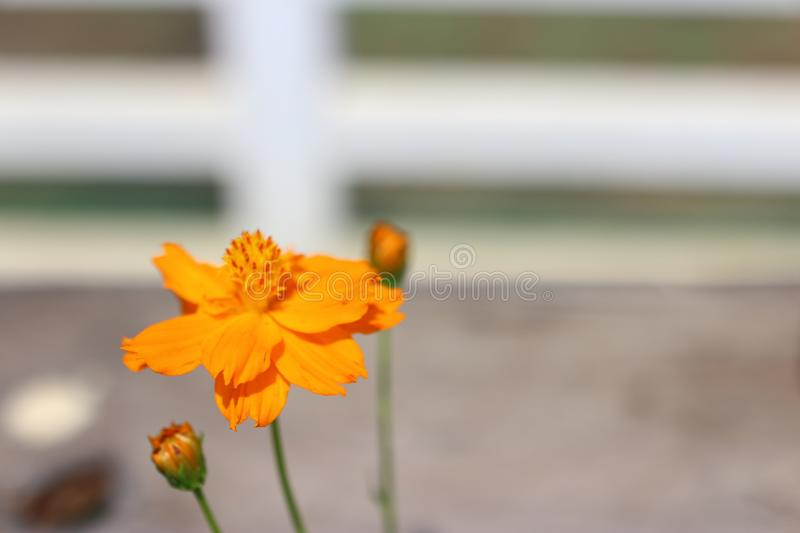 Close-up of Mexican flowers  Beautiful orange aster  Blurred natural background. Close-up mexican flowers beautiful orange aster blurred natural background royalty free stock photos