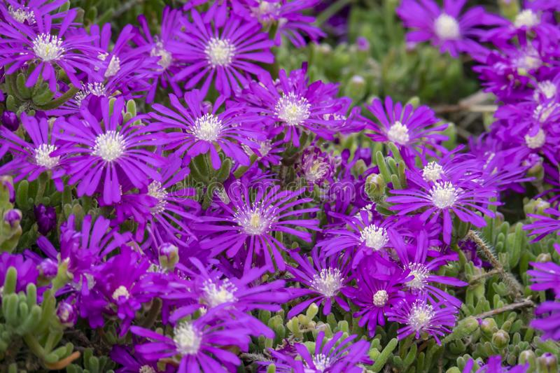 Michaelmas daisy flowers. Symphyotrichum novi-belgii also known as New York aster royalty free stock photography