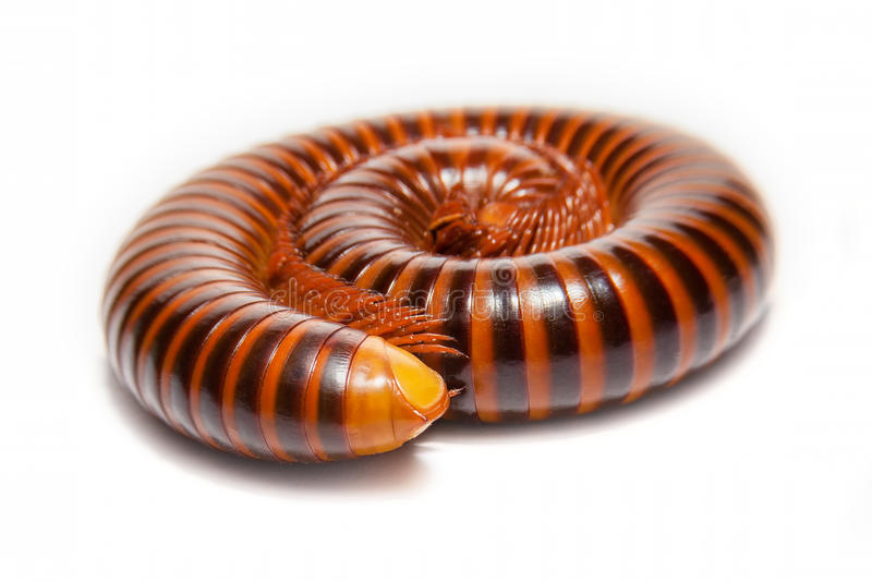 close up of the millipede legs., shallow depth of field and selective focus., on white backgroung. stock photography