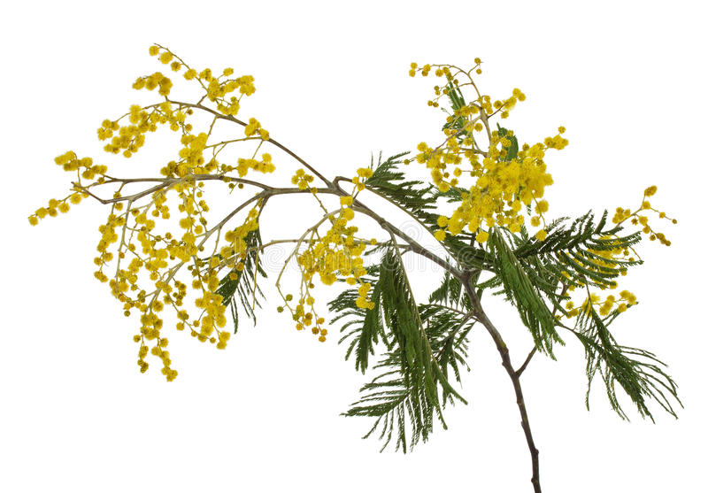 Download Close-up mimosa branch stock photo. Image of bunch, isolated - 26612436