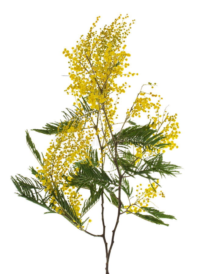Download Close-up Mimosa Branch Stock Photo - Image: 26612450