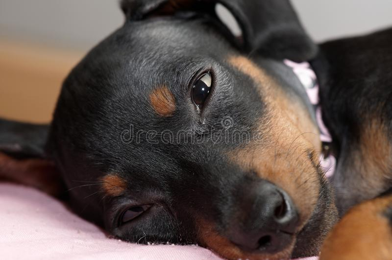 Close-up Of A Miniature Pinscher Puppy Royalty Free Stock Photos