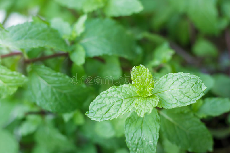 Close Up Mint In Garden.Kitchen Mint,Thai Peppermint, Stock Image ...