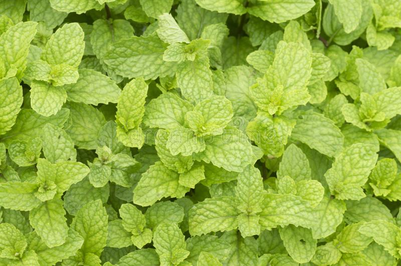 Close-up of Mint leaves or Pudina. Top view of Mint leaves or Pudina royalty free stock images