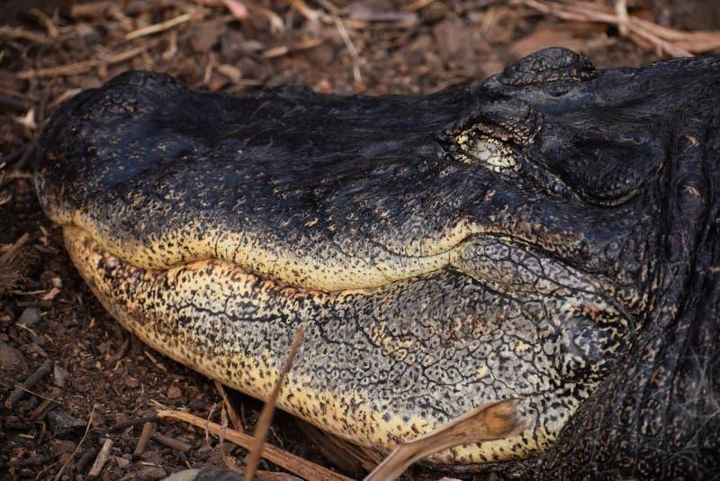 Mississippi Alligator royalty free stock images