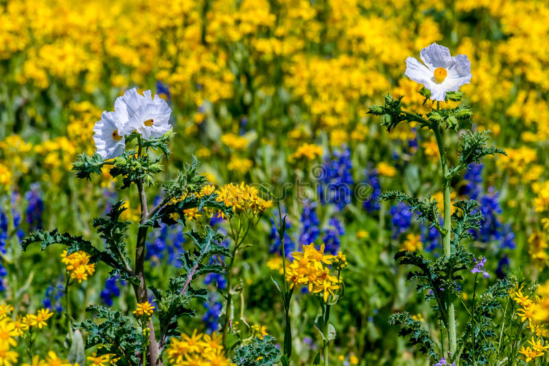 Close up of a Mix of Cut Leaf Groundsel, White Poppy, and Texas Bluebonnet Wildflowers. Close up of a Mix of Bright Yellow Cut Leaf Groundsel (Packera tampicana stock photo