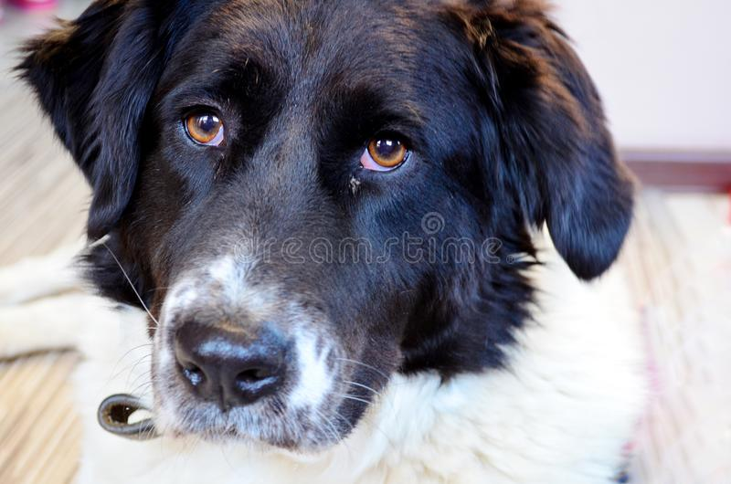 Black and White Dog. Close up of a mixed breed dog outdoor stock photo