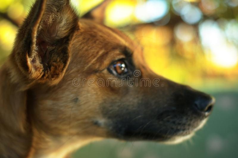 Focus on the dog ear. Close up on mixed-breed mongrel dog sitting. Close up on mixed-breed mongrel dog sitting in chair in sun light. Focus on the dogs ear stock photos
