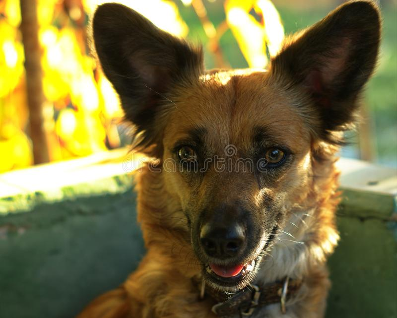 Close up on mixed-breed mongrel dog sitting. In chair in sun light royalty free stock photography