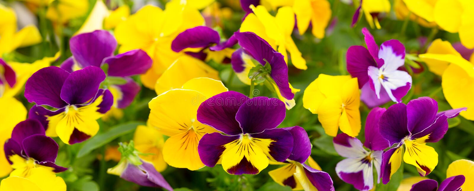Close up of mixed colorful pansy flowers stock images