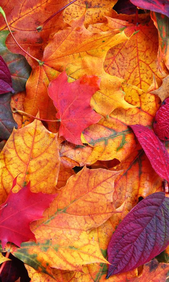 Autumn Leaves. Mobile Phone Wallpaper. Close up of a mixture of Autumn leaves - great range of colours royalty free stock image