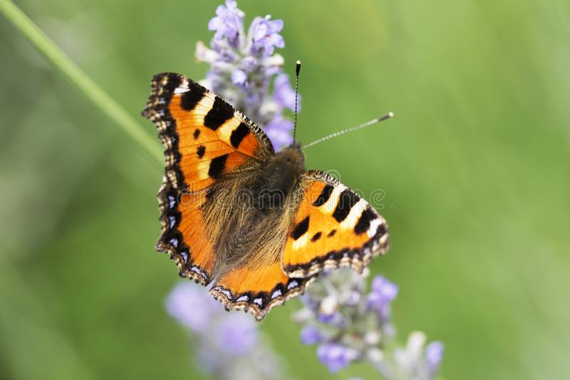 Monarch butterfly on a lavender flower royalty free stock photo