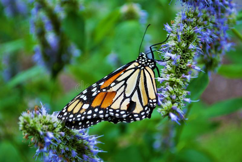 Close up of a Monarch butterfly with a broken wing on a blue Veronica flower stock photos