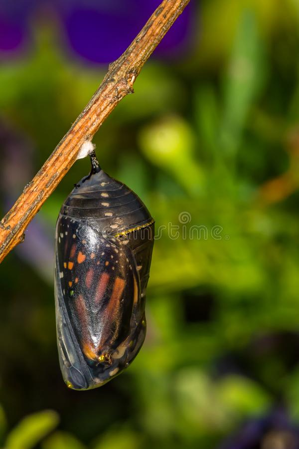 Monarch Butterfly Chrysalis. A close up of a Monarch Butterfly Chrysalis on a stick in the garden royalty free stock image