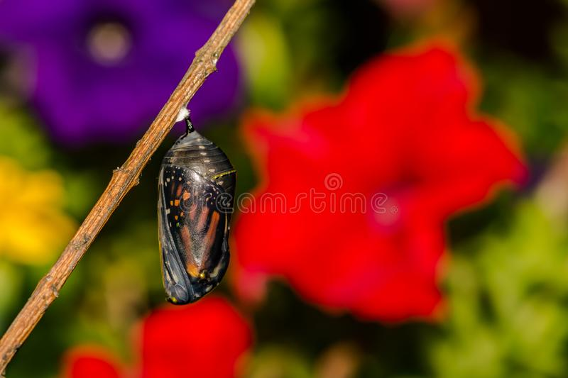 Monarch Butterfly Chrysalis. A close up of a Monarch Butterfly Chrysalis on a stick in the garden royalty free stock images