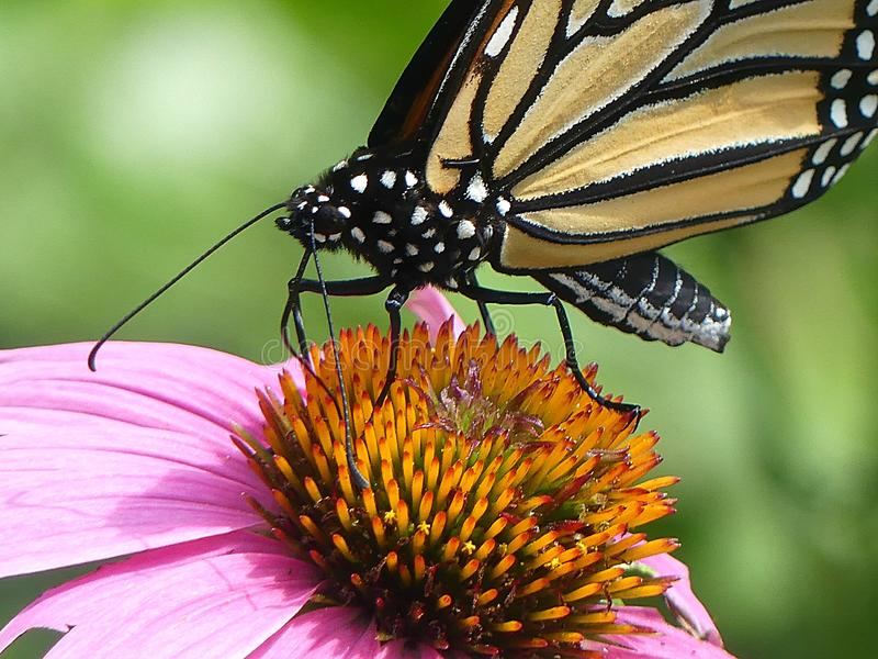 Close Up of a Monarch Butterfly Drinking Nectar from an Echinacea Flower. A close up of a Monarch butterfly drinking nectar from an Echinacea flower. Wings are stock photo