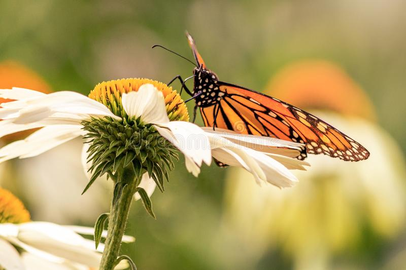Close up of a monarch butterfly standing in a white daisy stock images